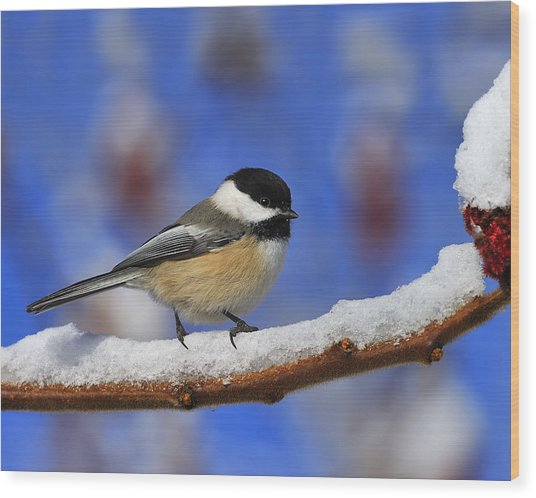 Black-capped Chickadee In Sumac Wood Print