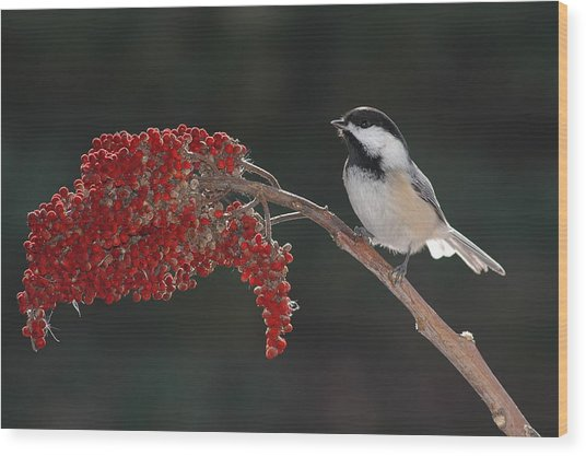 Black-capped Chickadee Wood Print by Raju Alagawadi