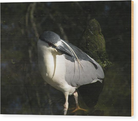 Black Crowned Heron Wood Print by Gregory Letts
