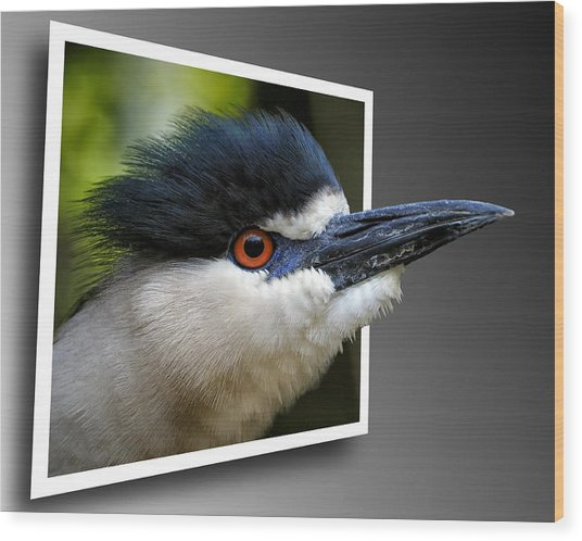 Black Crowned Night Heron Out Of Bounds Wood Print