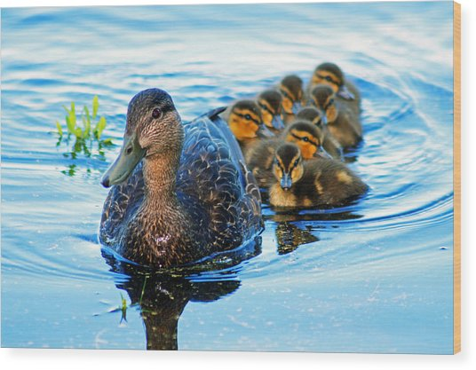Black Duck Brood Wood Print
