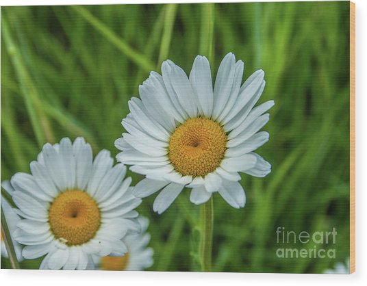 Black-headed Daisy's Wood Print