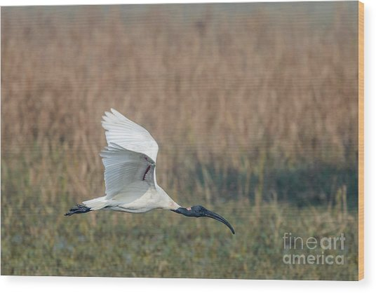 Black-headed Ibis 01 Wood Print