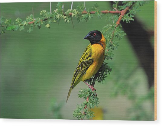 Black-headed Weaver Wood Print
