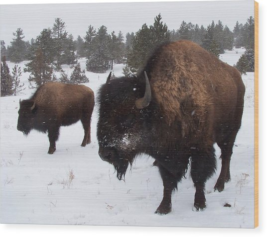 Black Hills Bison Wood Print