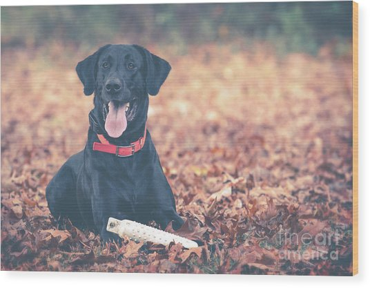 Black Labrador In The Fall Leaves Wood Print