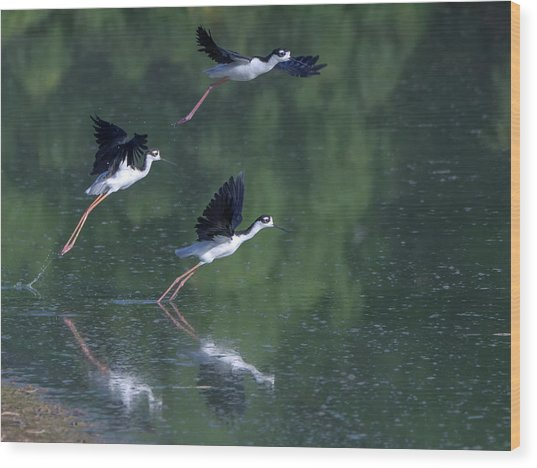 Black-necked Stilts 4302-080917-2cr Wood Print