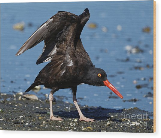Black Oyster Catcher Wood Print