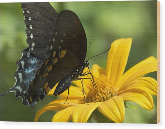 Black Swallowtail Drinking Wood Print