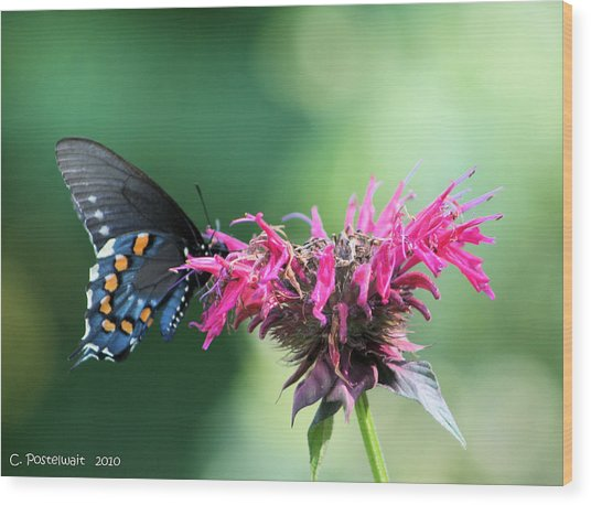Black Swallowtail And Raspberry Fizz Monarda 2 Wood Print