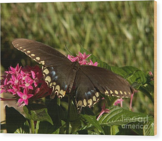 Black Swallowtail Butterfly On Pentas Wood Print