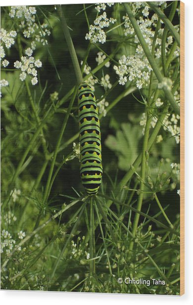 Wood Print featuring the painting Black Swallowtail Butteryfly Caterpillar by Chholing Taha