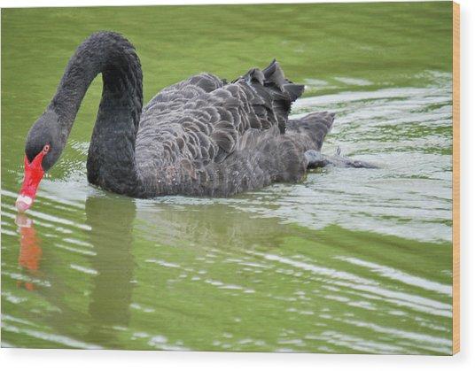 Black Swan Wood Print by Teresa Blanton