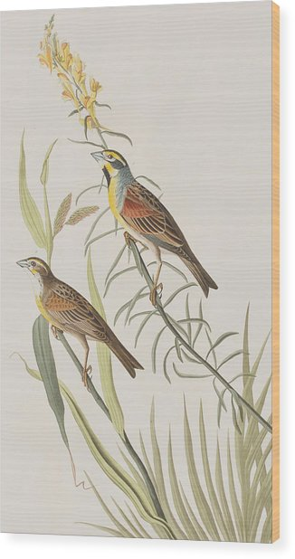 Black-throated Bunting Wood Print