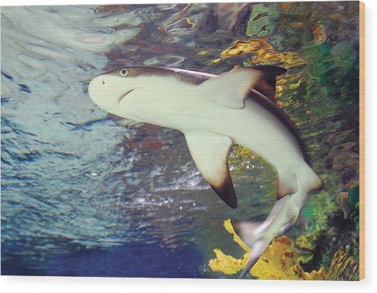 Black Tipped Reef Shark-1 Wood Print