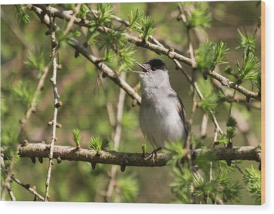 Blackcap Serenade Wood Print