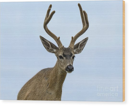 Blacktail Deer Showing Off Summer Antlers Wood Print