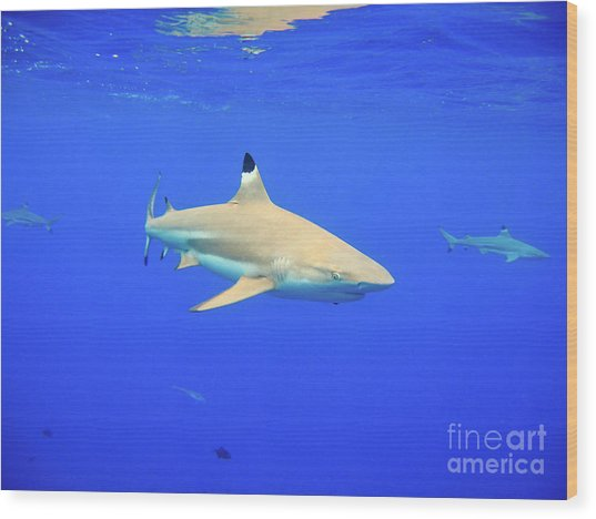 Blacktip Reef Shark Wood Print