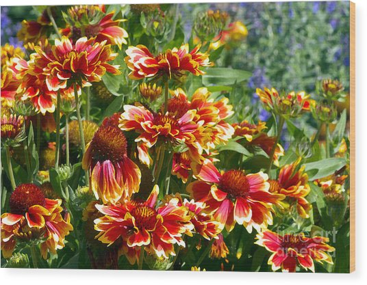 Blanket Flowers Wood Print