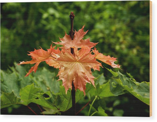 Blazing Maple Leaves Wood Print