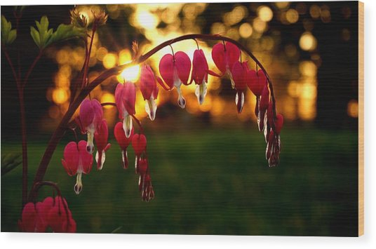 Bleeding Heart Sunset Wood Print