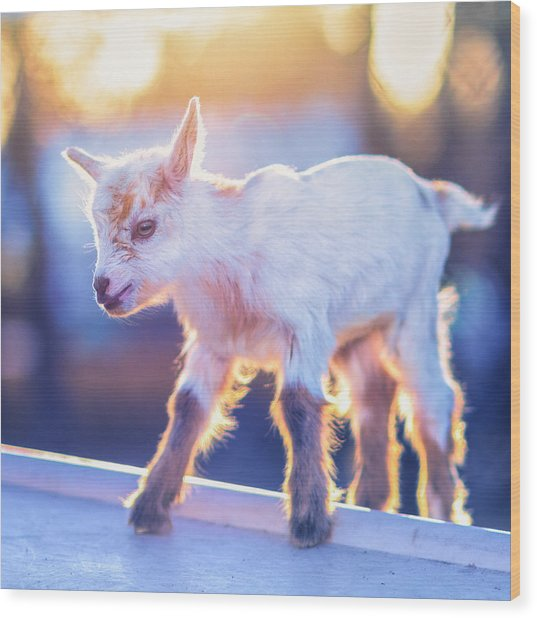 Little Baby Goat Sunset Wood Print