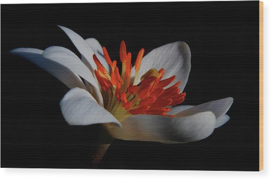 Bloodroot Art Wood Print