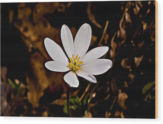Bloodroot Bloom Wood Print by Michael Whitaker