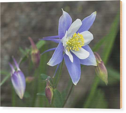 Blooming Blue Columbine Wood Print by Loree Johnson