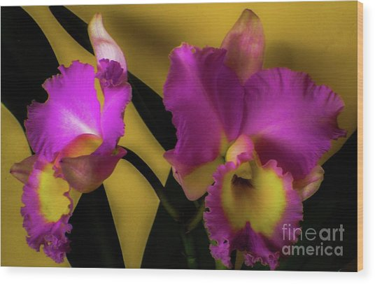 Blooming Cattleya Orchids Wood Print
