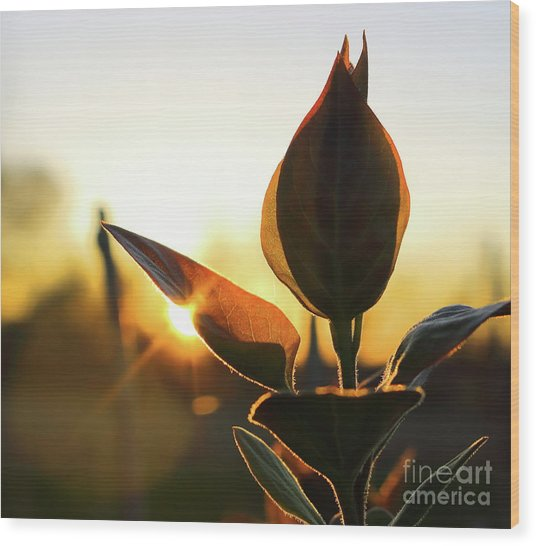 Blooming Lilac At Sunset Wood Print