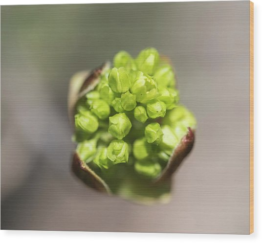 Blooming Star Wood Print