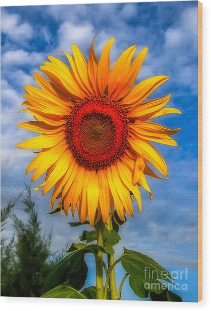 Blooming Sunflower  Wood Print