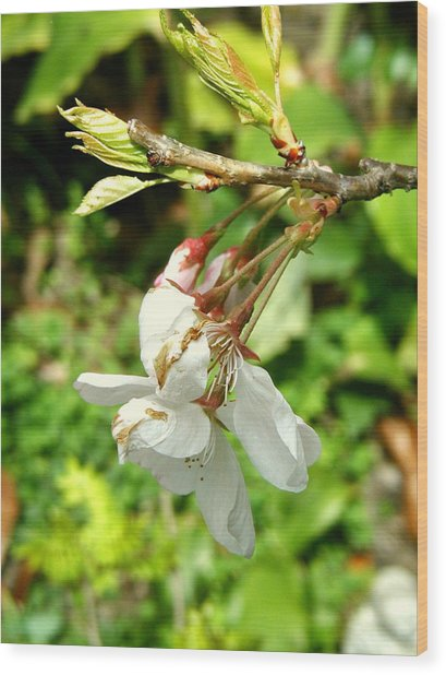 Blossom Wood Print by Mark Stevenson