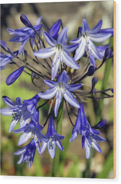 Blue Allium Wood Print