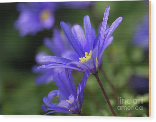 Blue Anemone  Wood Print by Sharon Talson