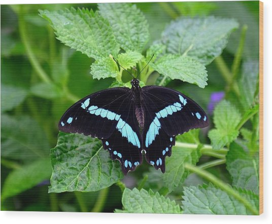 Blue Banded Swallowtail Butterfly Wood Print