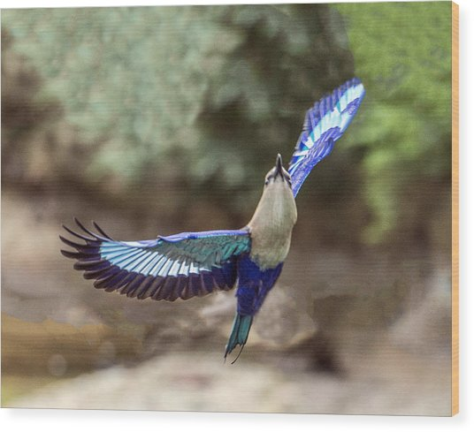 Blue-bellied Roller In Flight Wood Print