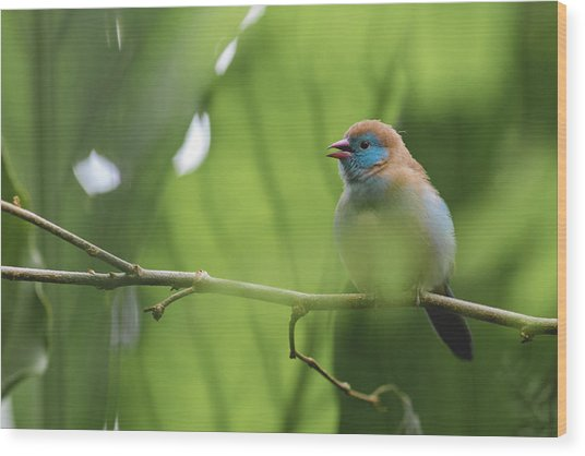 Wood Print featuring the photograph Blue Bird Chirping by Raphael Lopez
