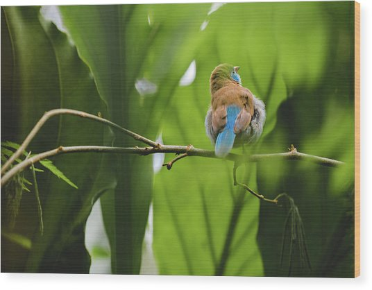 Wood Print featuring the photograph Blue Bird Has An Itch by Raphael Lopez