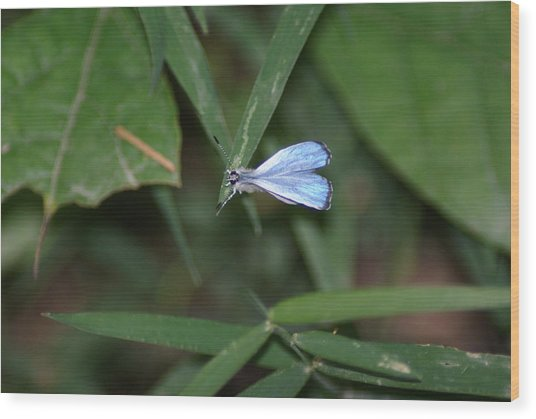 Blue Butterfly Wood Print by Heather Green