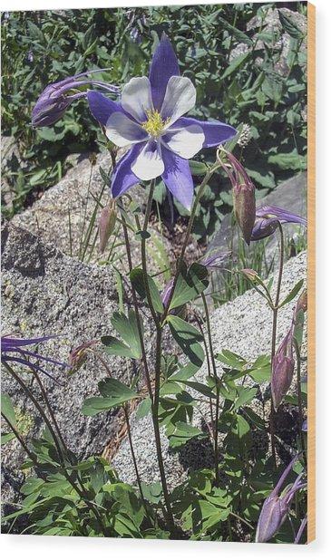 Blue Columbine Colorado Mountains Wood Print