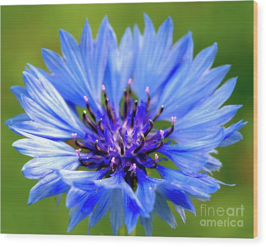 Blue Cornflower Wood Print