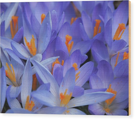 Blue Crocuses Wood Print