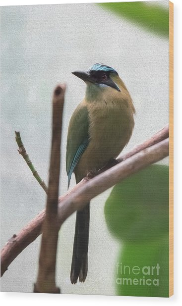 Blue-crowned Motmot Oil Wood Print