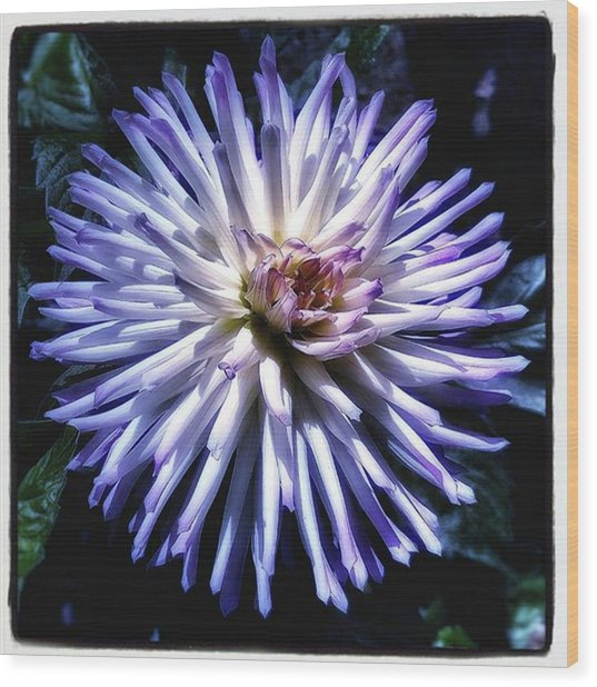 Wood Print featuring the photograph Blue Dahlia. Like A Winking  Star In by Mr Photojimsf
