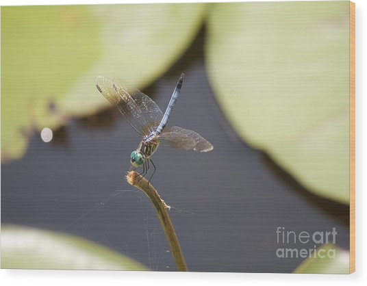 Blue Dasher Dragonfly Wood Print by David Grant