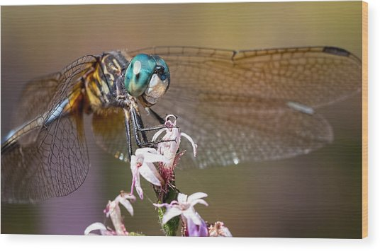 Blue Dasher Dragonfly Resting Wood Print