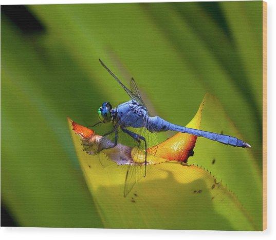 Blue Dasher Dragonfly Wood Print