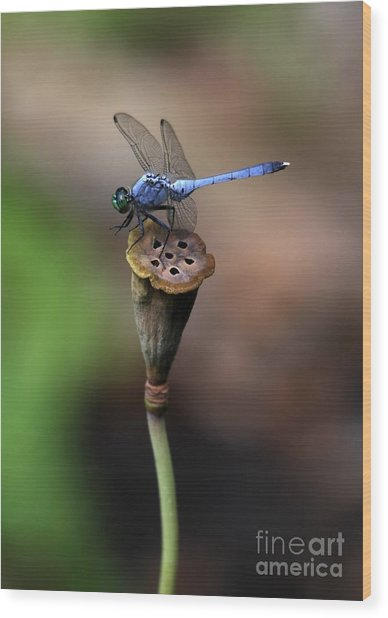 Blue Dragonfly Dancer Wood Print